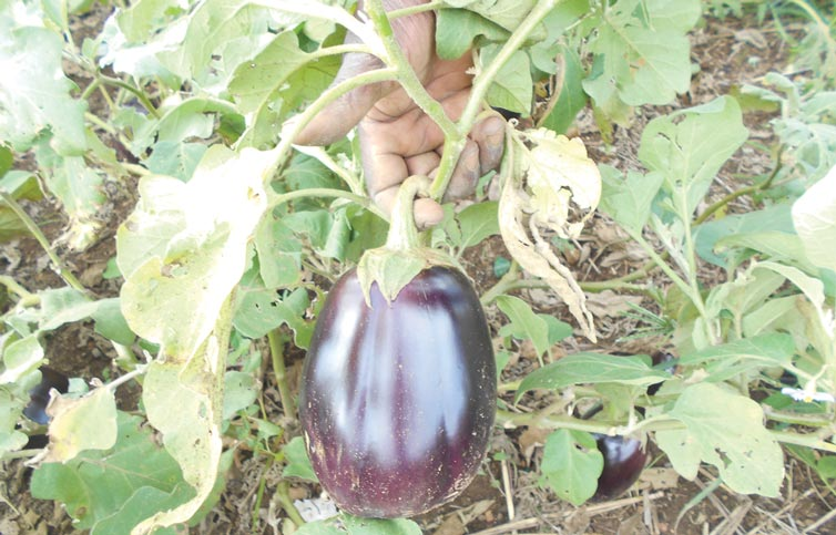 Vegetables produced at the farm