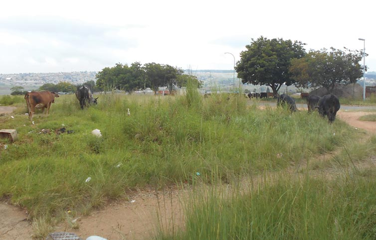 Cows grazing in the business area