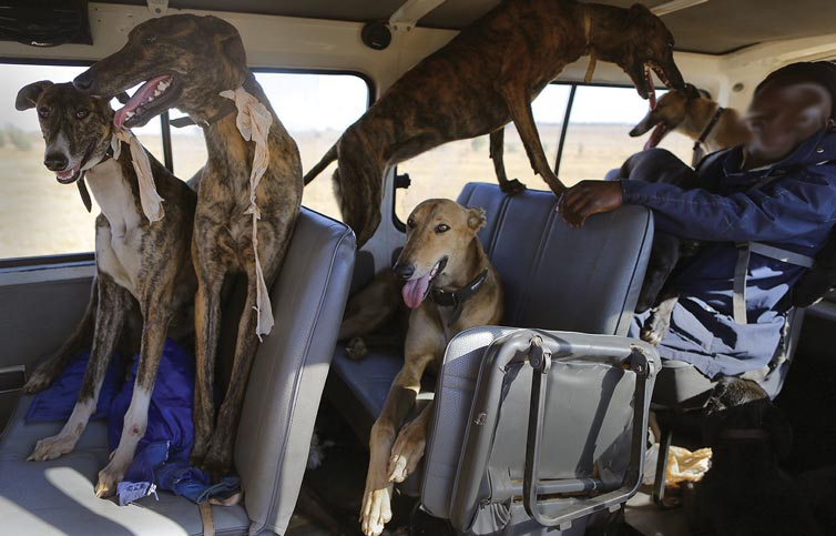 Hunting dogs being transported by Taxi