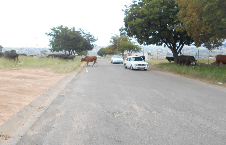 Our Streets are Becoming Grazing Grounds